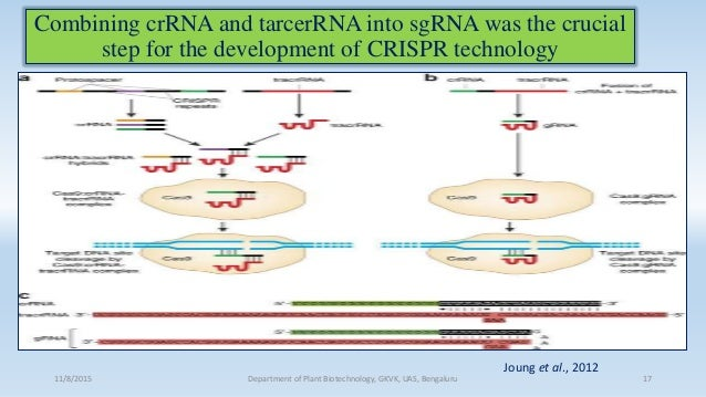 Combining crRNA and tarcerRNA into sgRNA was the crucial step for the development of CRISPR technology 11/8/2015 Departmen...