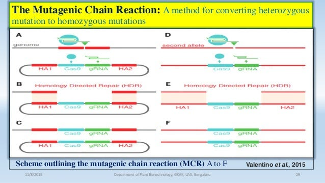 The Mutagenic Chain Reaction: A method for converting heterozygous mutation to homozygous mutations 11/8/2015 Department o...