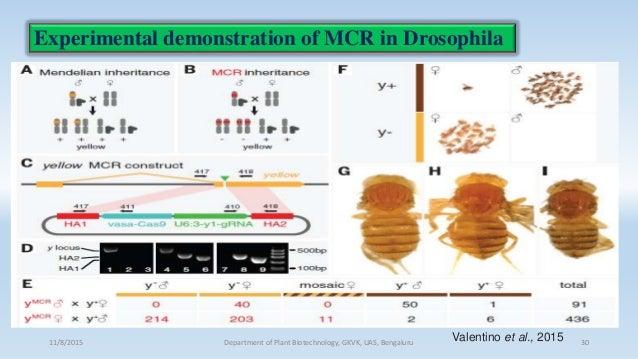 Experimental demonstration of MCR in Drosophila 11/8/2015 Department of Plant Biotechnology, GKVK, UAS, Bengaluru 30Valent...