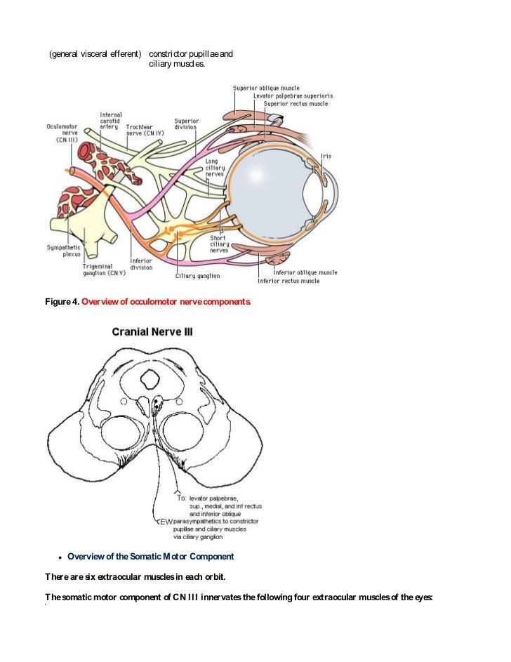 Neuroanatomy...Cranial nerve anatomy