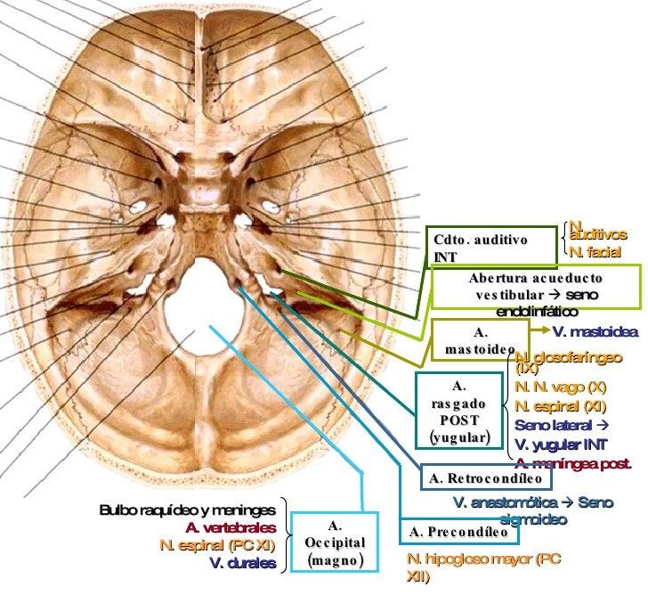 Bonito Tubo Auditivo Modelo - Imágenes de Anatomía Humana ...