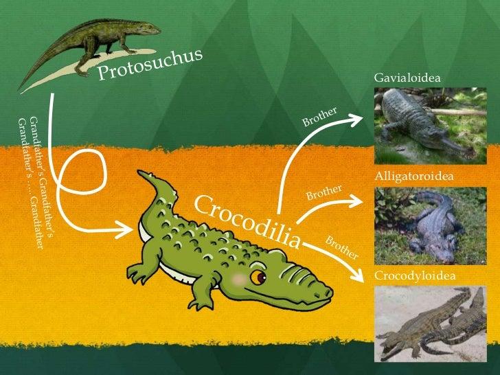 Protosuchus<br />Gavialoidea<br />Brother<br />Alligatoroidea<br />Grandfather's Grandfather's <br />Grandfather's ….. Gra...