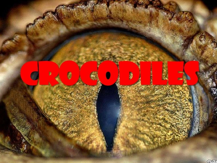 CROCODILES<br />