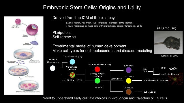 embryonic stem cell research in