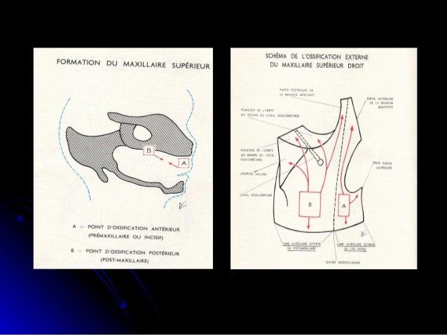 Apparition des cartilages secondairesApparition des cartilages secondaires