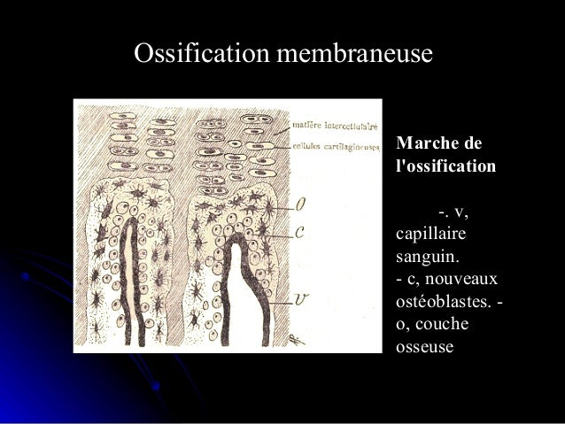 • Os enchondral: ossification enchondrale:Os enchondral: ossification enchondrale:  C'est le cas du squelette axial, memb...