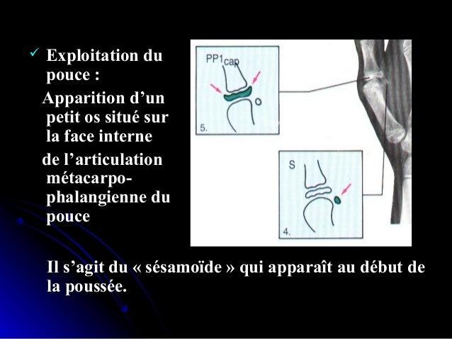 Chronologie d'apparition:Chronologie d'apparition: 1- le stade PP2 = ( index :doigt n° 2 )1- le stade PP2 = ( index :doigt...