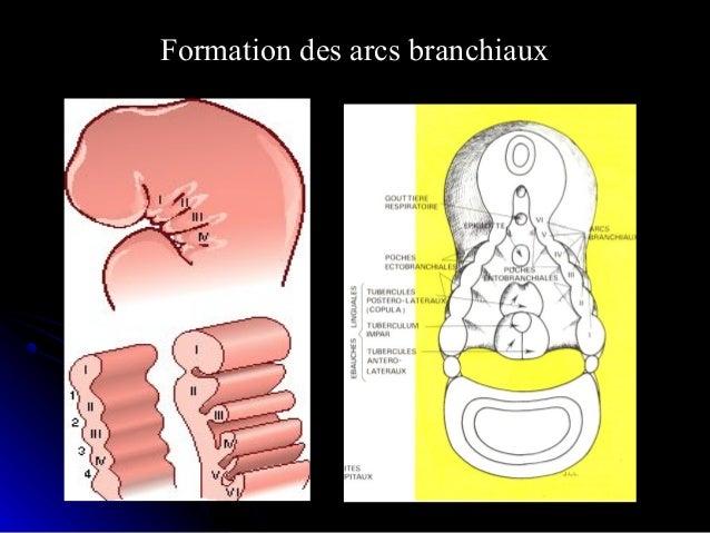 Dérivés squelettiques des arcs branchiaux:Dérivés squelettiques des arcs branchiaux: