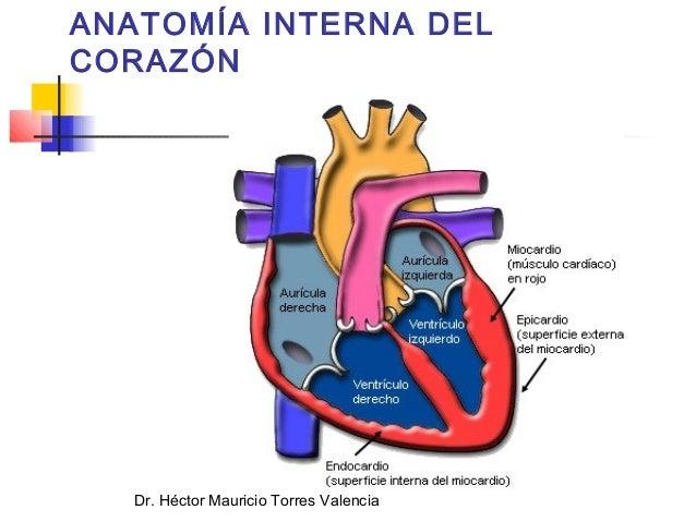 Cruz Roja anatomía corazón