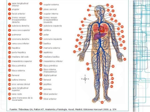 C roja sistema circulatorio fc y pulsos