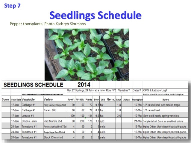 Seedlings Schedule Step 7 Pepper transplants. Photo Kathryn Simmons