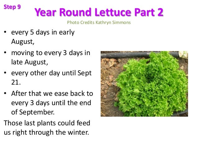 Year Round Lettuce Part 2 Photo Credits Kathryn Simmons • every 5 days in early August, • moving to every 3 days in late A...