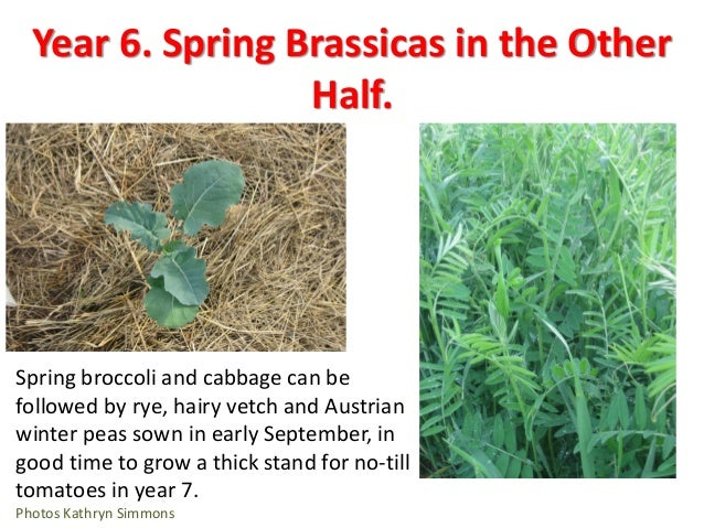 Year 8. Watermelon • Watermelons are not planted till mid-May, so the Austrian winter peas have time to flower before we d...