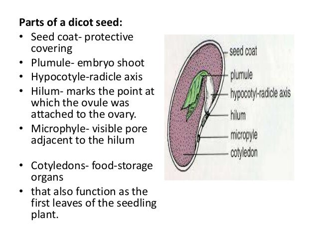 monocot vs  dicot features