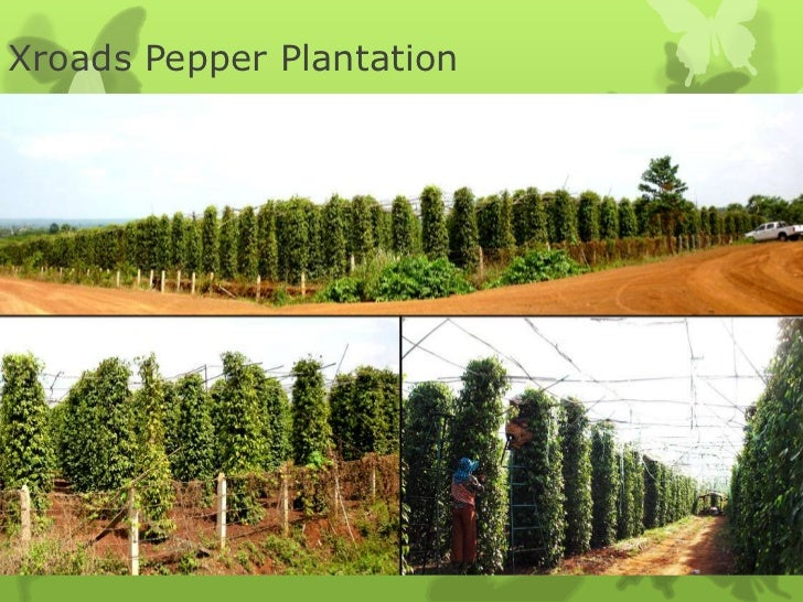 Xroads Pepper Plantation
