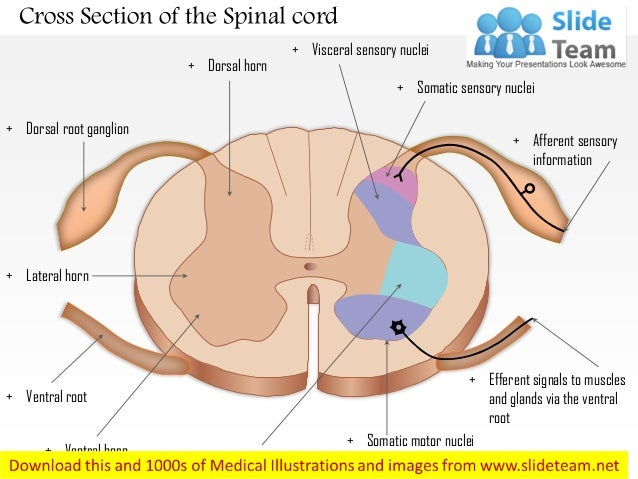 Cross Section Of The Spinal Cord Medical Images For Power