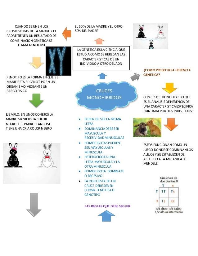 LAS REGLAS QUE DEBE SEGUIR CRUCES MONOHIBRIDOS LA GENETICA ES LA CIENCIA QUE ESTUDIA COMO SE HEREDAN LAS CARACTERISTICAS D...