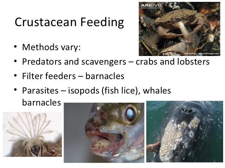 Crustacean Feeding•   Methods vary:•   Predators and scavengers – crabs and lobsters•   Filter feeders – barnacles•   Para...