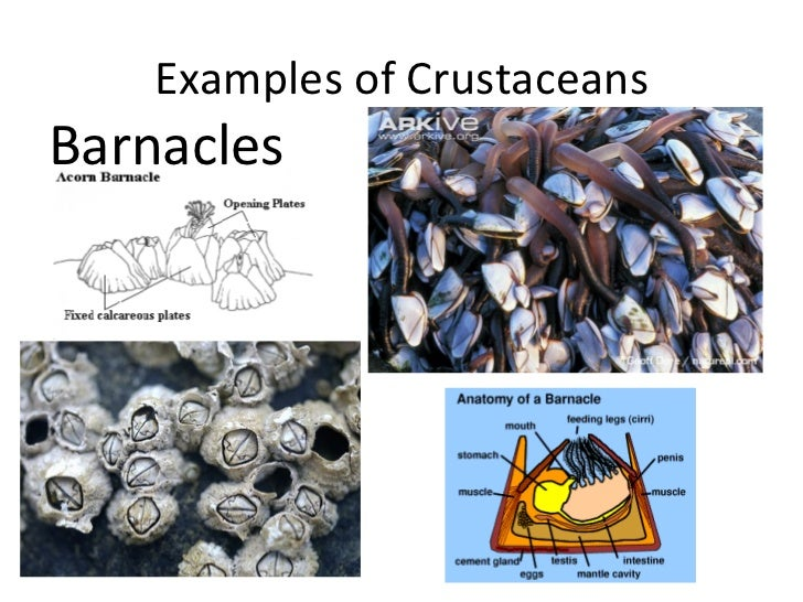 Examples of CrustaceansBarnacles
