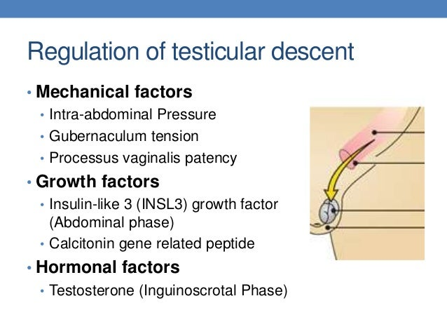 Cryptorchid testis histology slides