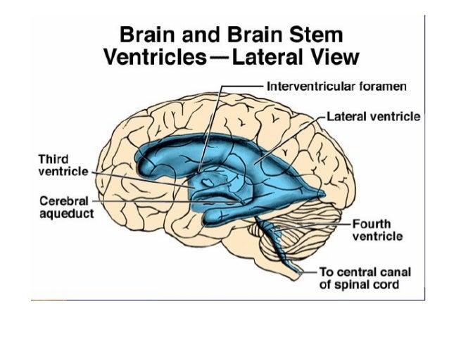 Csf & ventricles