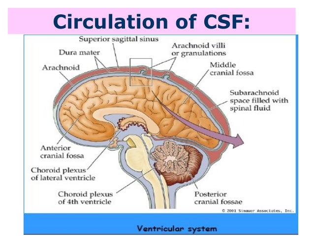 csf & ventricles, Human Body