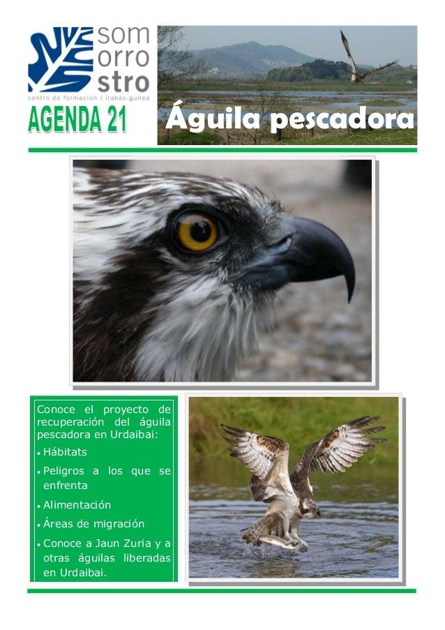 Conoce el proyecto de recuperación del águila pescadora en Urdaibai:  Hábitats  Peligros a los que se enfrenta  Aliment...