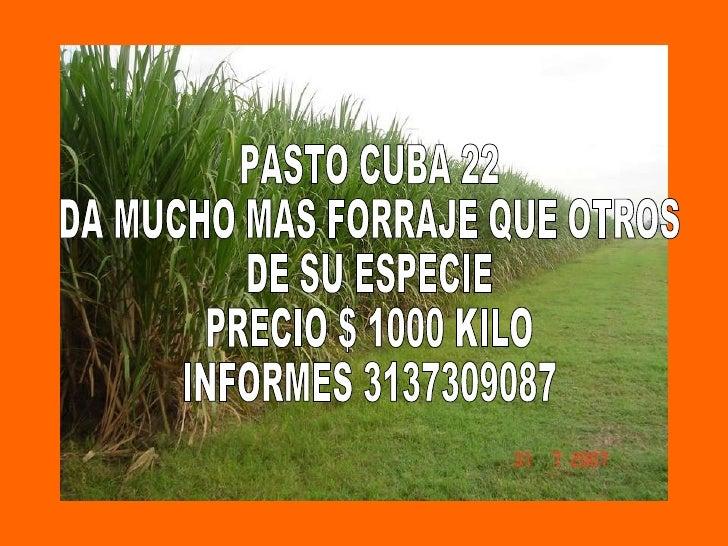 PASTO CUBA 22 DA MUCHO MAS FORRAJE QUE OTROS  DE SU ESPECIE PRECIO $ 1000 KILO INFORMES 3137309087