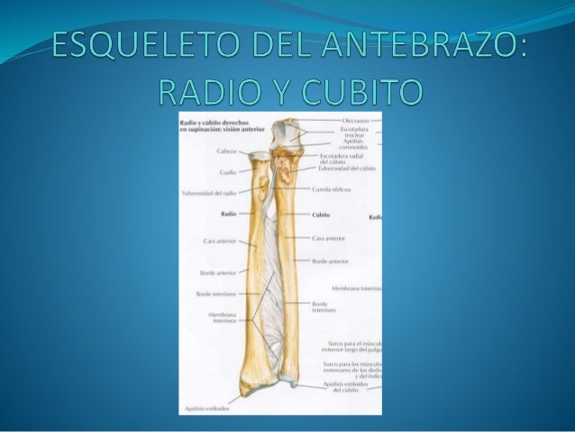 Cubito y radio (m)