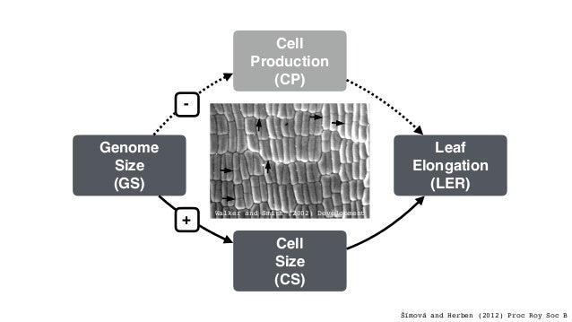 Leaf Elongation (LER) Cell Size (CS) Cell Production (CP) Genome Size (GS) + - log(CS) = 0 + GS ⇤ log(GS) Posterior Densit...