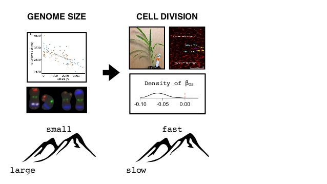 large small GENOME SIZE late early FLOWERING TIME slow fast CELL DIVISION Density of βGS