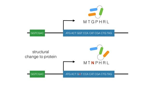M T G P H R L GGTAAAC ATG ACT GGT CCA CAT CGA CTG TAG GG—-AC ATG ACT GGT CCA CAT CGA CTG TAG regulatory change to expressi...
