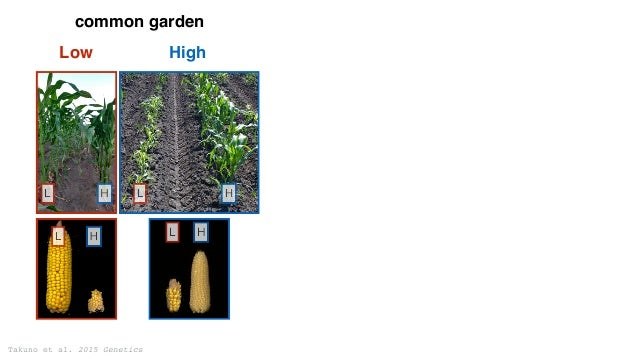 Takuno et al. 2015 Genetics 39% 61% Intergenic Genic 19% 81% Standing Variation New mutation Low High common garden adapti...