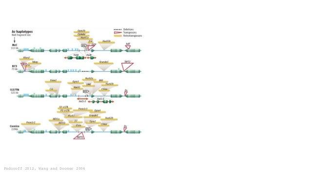 Fedoroff 2012, Wang and Dooner 2006 Homologous(loop)34% Nopairing20%Nonhomologous46% Maguire 1966 Genetics