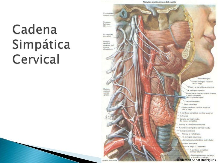 Cuello - Componentes Nerviosos