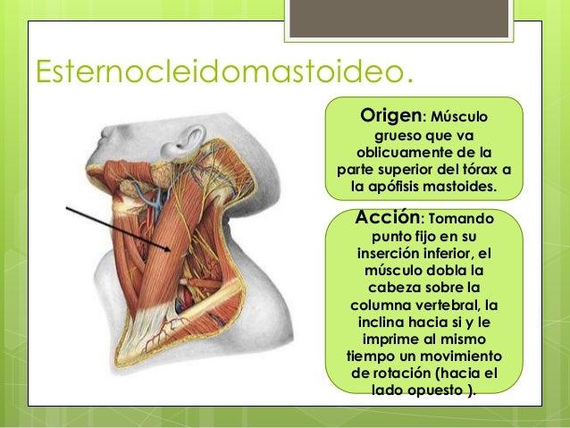 Ubicacion Y Funcion Del Musculo Esternocleidomastoideo – Pretty Girls