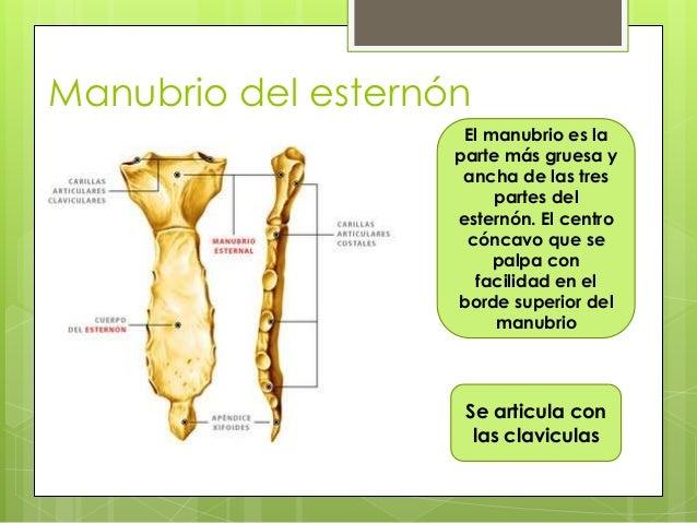 Anatomia Y Morfologia Del Cuello
