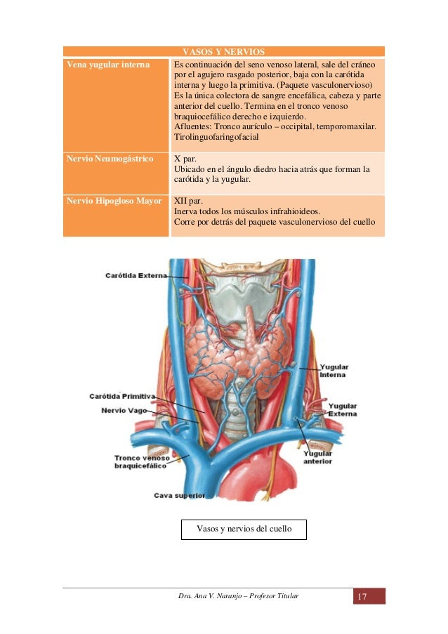 Dorable Nervios En Diagrama De Cuello Y El Hombro Foto - Anatomía de ...