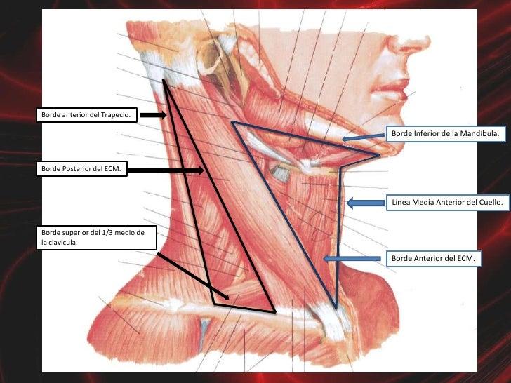 Anatomia Cuello Parietal Grupo Atlas