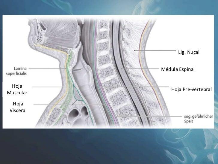 Anatomia Cuello Visceral Grupo Atlas