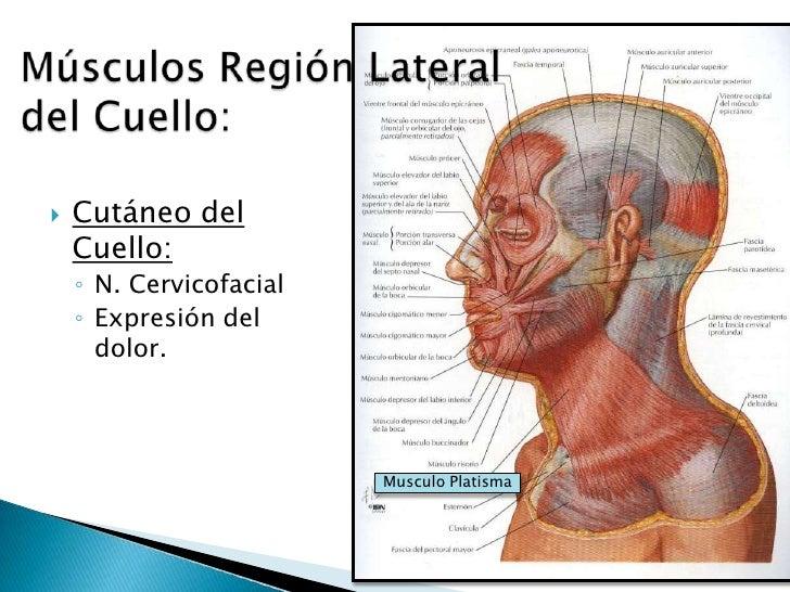 A los músculos del cuello se refiere el músculo - Anatomía ...