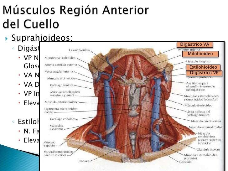 Famoso Anterior Músculos Del Cuello Anatomía Embellecimiento ...
