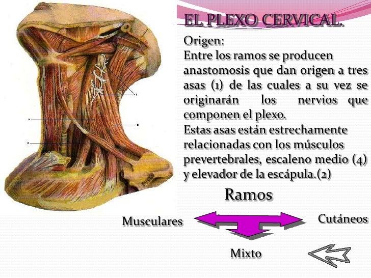 Dorable Glándulas En El Diagrama Cuello Colección - Anatomía de Las ...