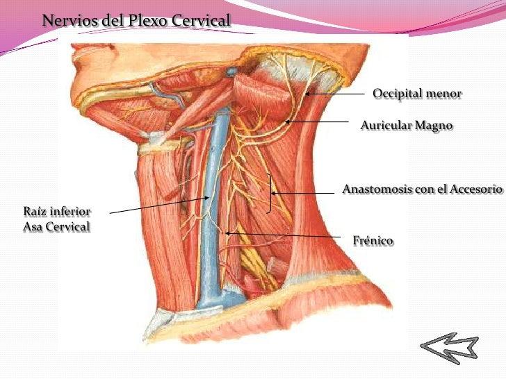 Increíble Anatomía De Los Nervios Del Cuello Colección de Imágenes ...