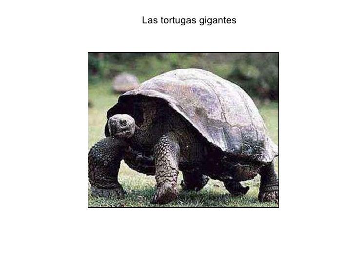 Las tortugas gigantes