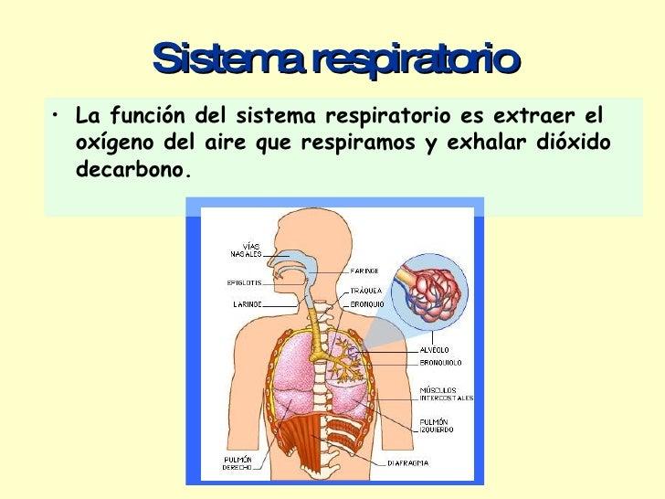 Sistema respiratorio <ul><li>La función del sistema respiratorio es extraer el oxígeno del aire que respiramos y exhalar d...