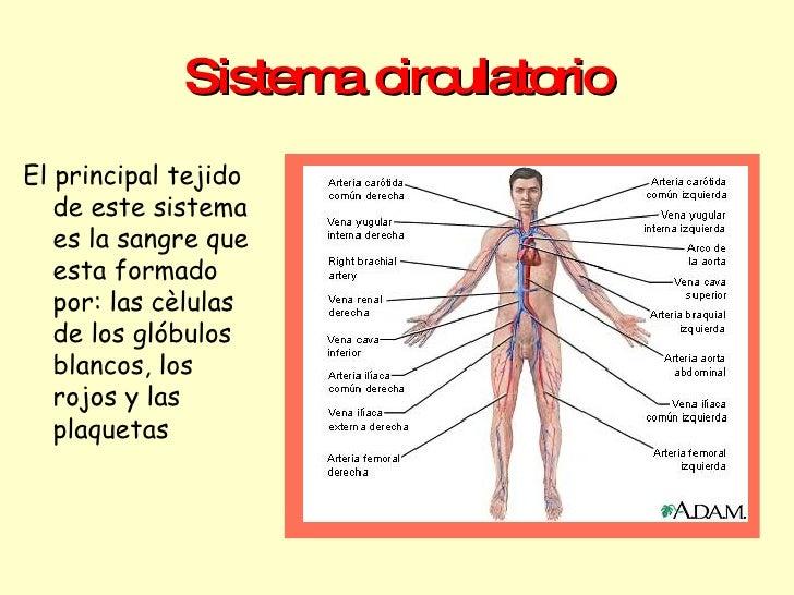Sistema circulatorio <ul><li>El principal tejido de este sistema es la sangre que esta formado por: las cèlulas  de los gl...