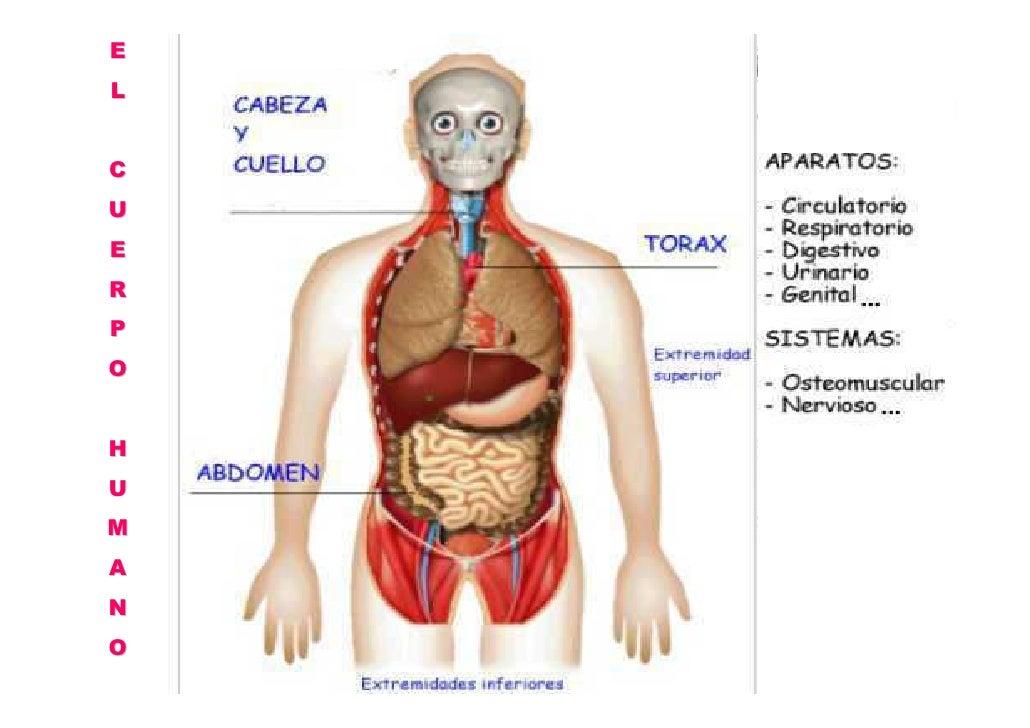 Bonito Colocación De órganos En El Cuerpo Fotos - Anatomía de Las ...