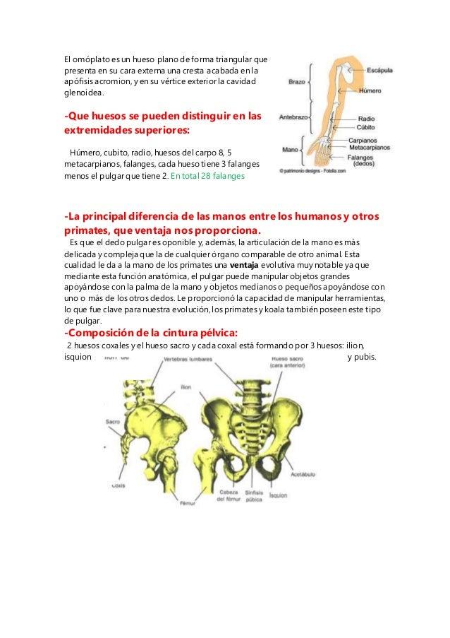 Cuestionario de anatomia huesos