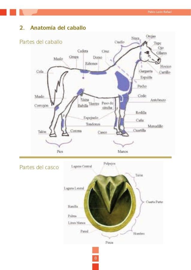 Magnífico Anatomía Del Caballo Para Las Piernas Traseras Patrón ...